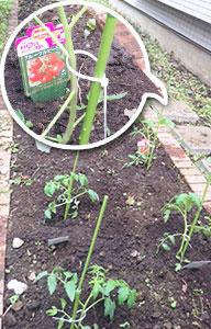 トマトとナスの苗植え完了